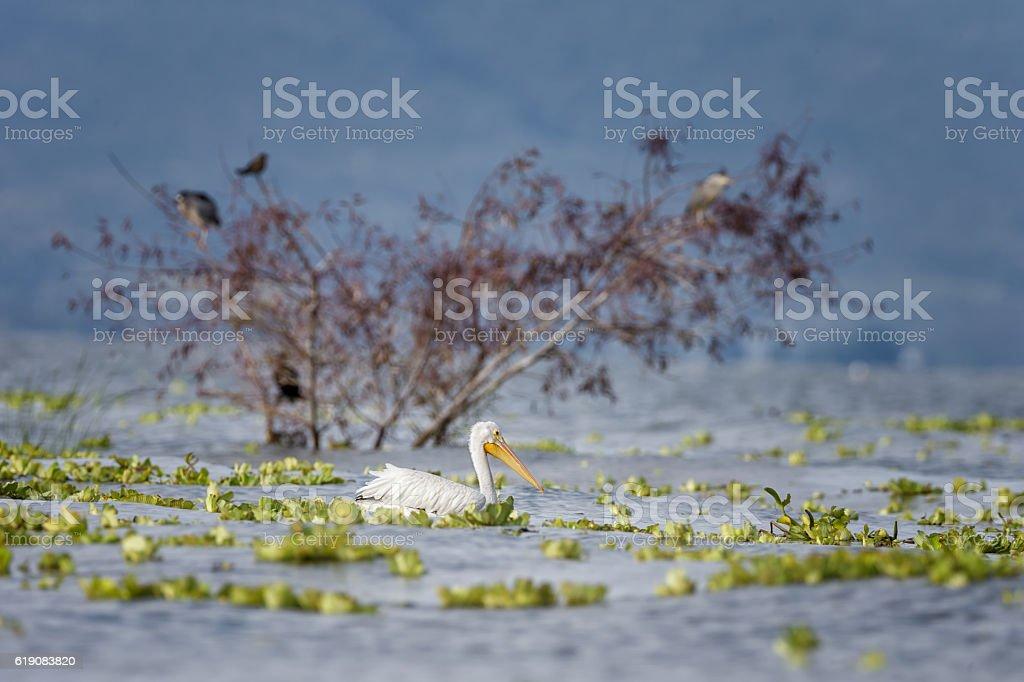 American White Pelican swimming stock photo