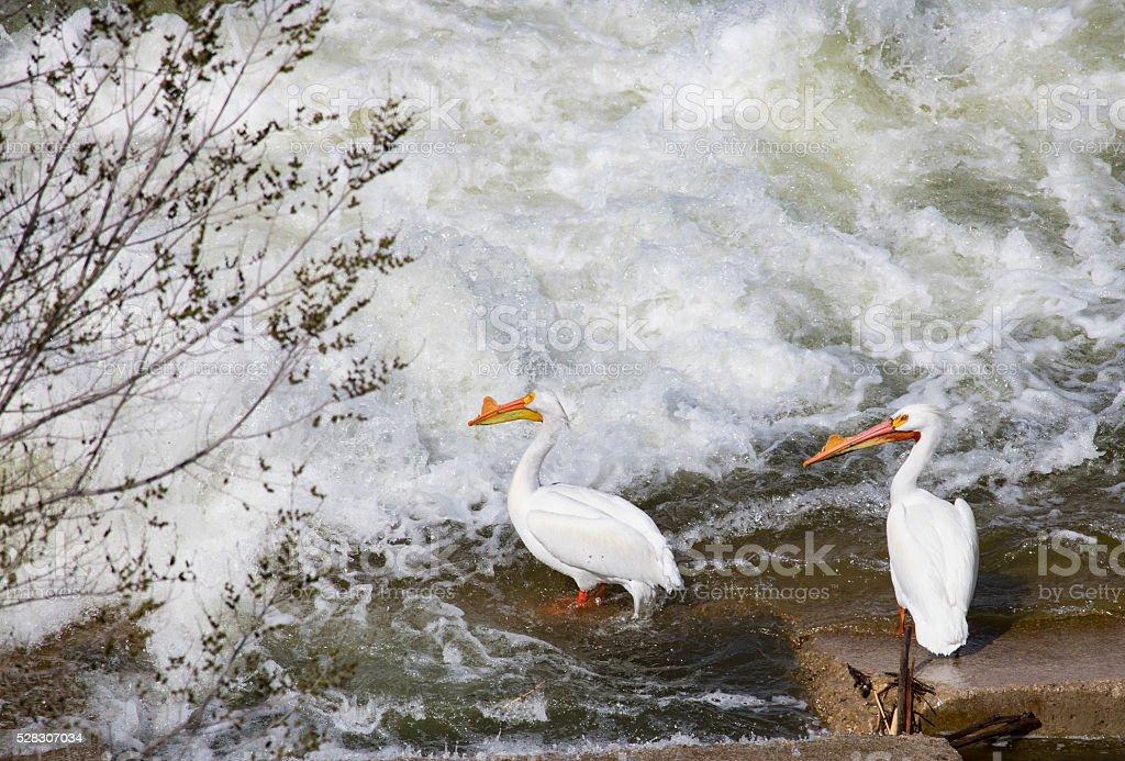 American White Pelicans near fish ladder, Saskatoon stock photo