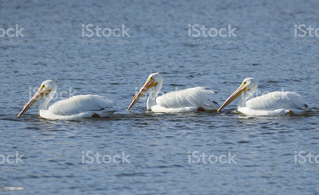 American White Pelicans stock photo