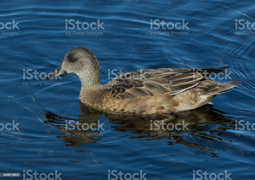 American Widgeon stock photo