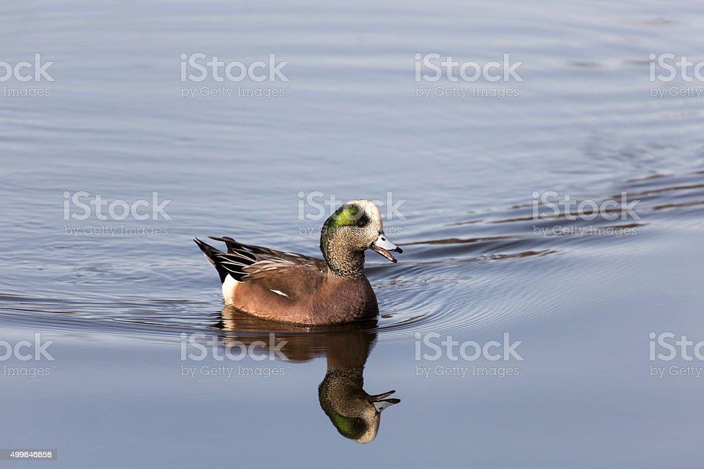 American Widgeon / Wigeon stock photo