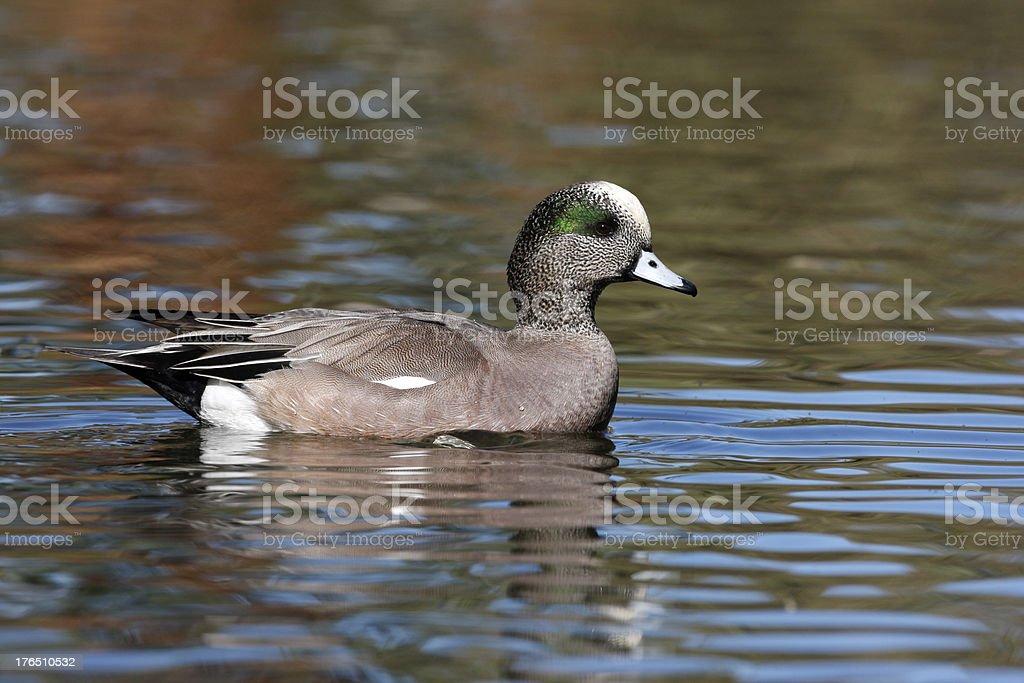 American wigeon, Anas americana stock photo