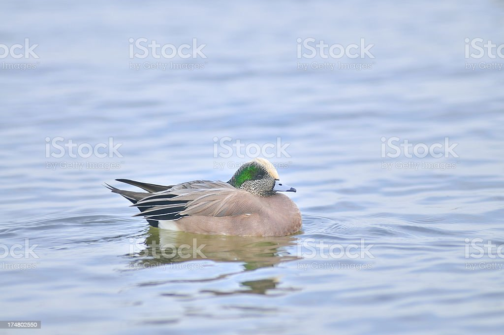 American Wigeon Drake, Anas americana, In Cambridge Maryland stock photo