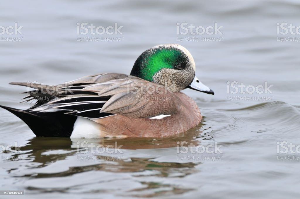 American Wigeon Drake on Choptank River stock photo