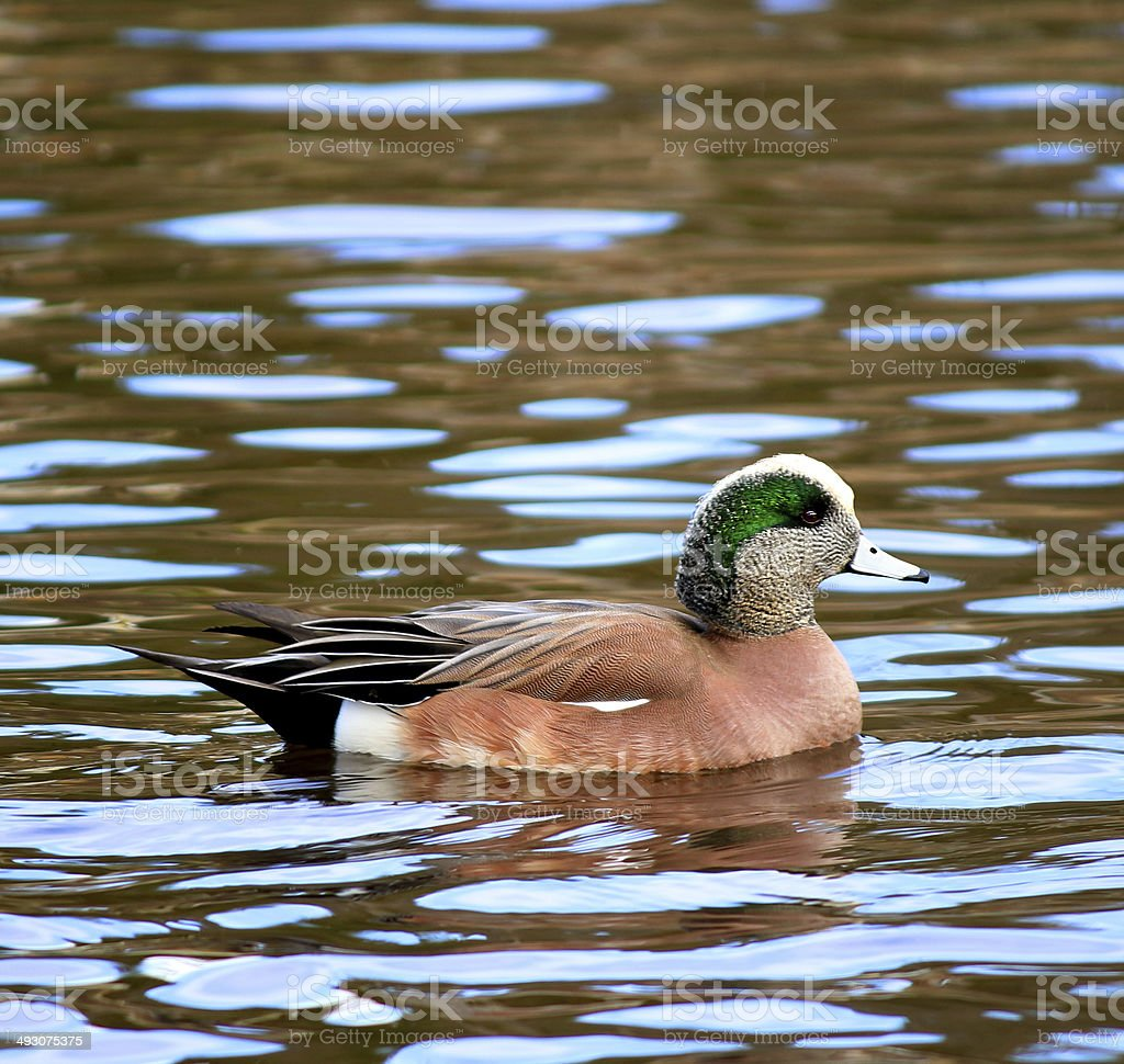 American Wigeon Duck stock photo
