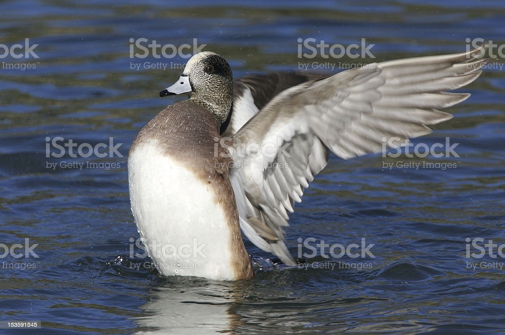 American Wigeon on the Water stock photo