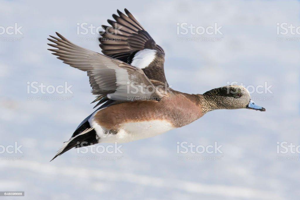 American Wigeon stock photo