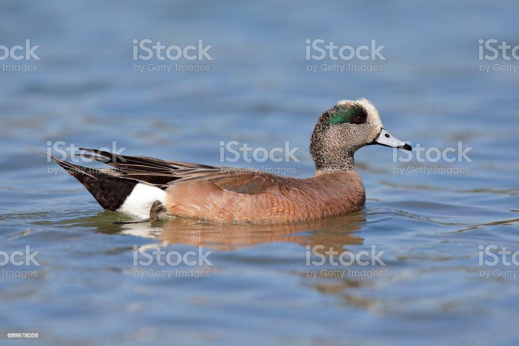 American Wigeon swimming in a lake - San Diego, California stock photo