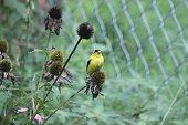 American Yellow Finch Bird Sitting on a plant