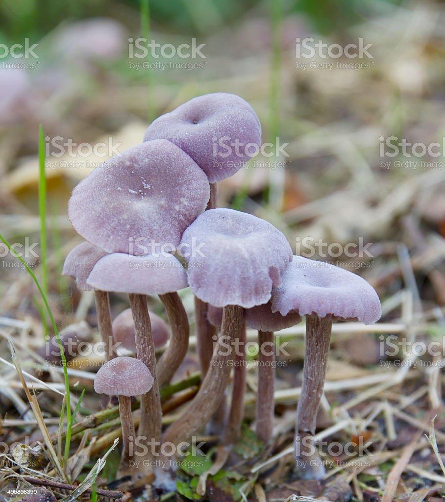 Amethyst deceiver (Laccaria amethystea) stock photo