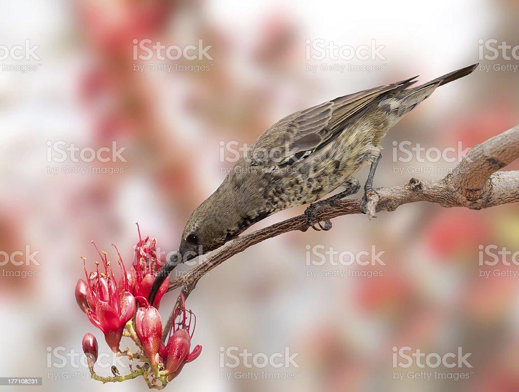 Amethyst Sun ptak żywienie zbiór zdjęć royalty-free