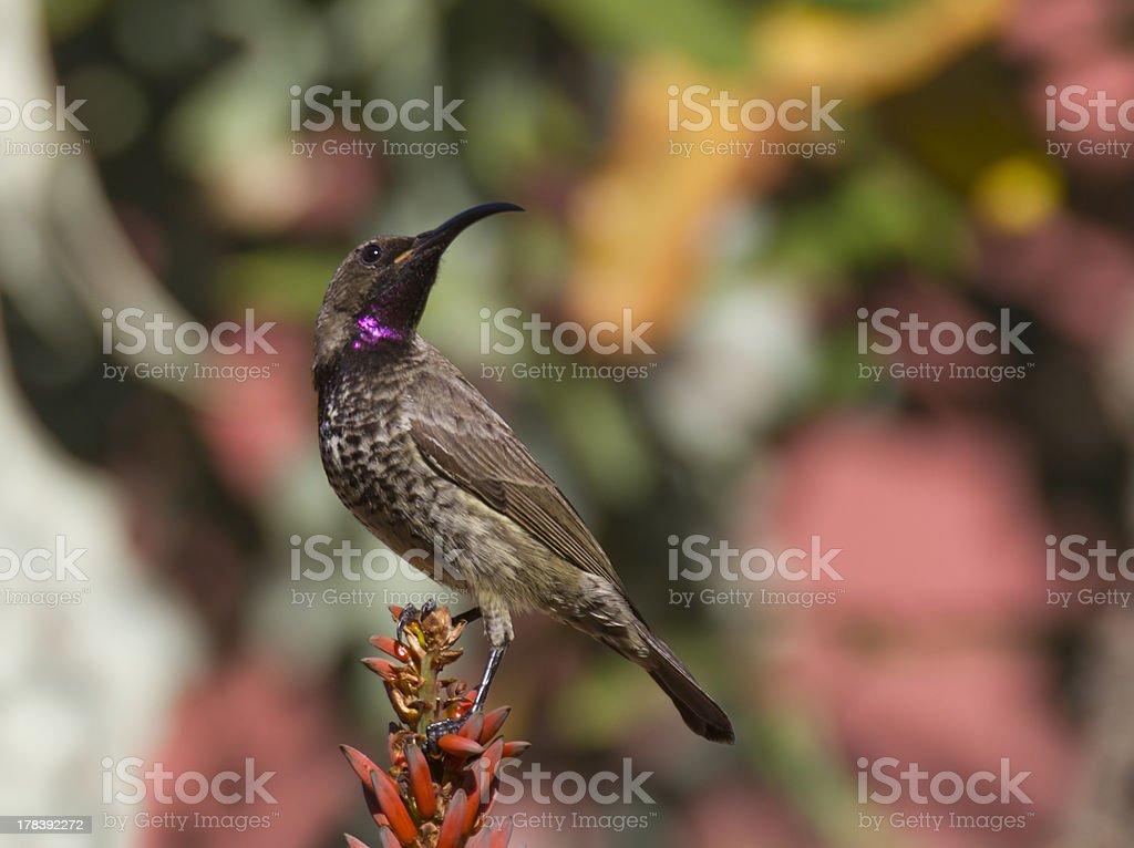 Amethyst sunbird na kolorowym tle zbiór zdjęć royalty-free