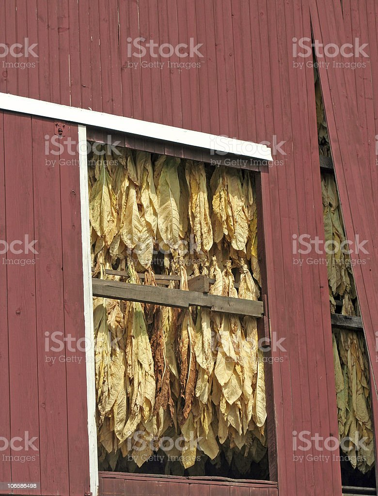Amish Barn with Drying Tobacco stock photo