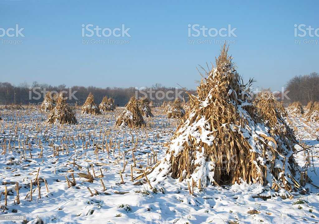 Amish Corn Field Harvest In Show stock photo