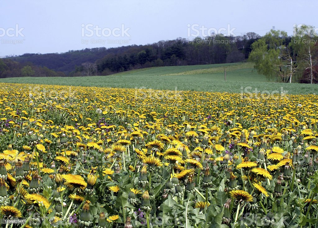 Amish Crop of Dandelions royalty-free stock photo