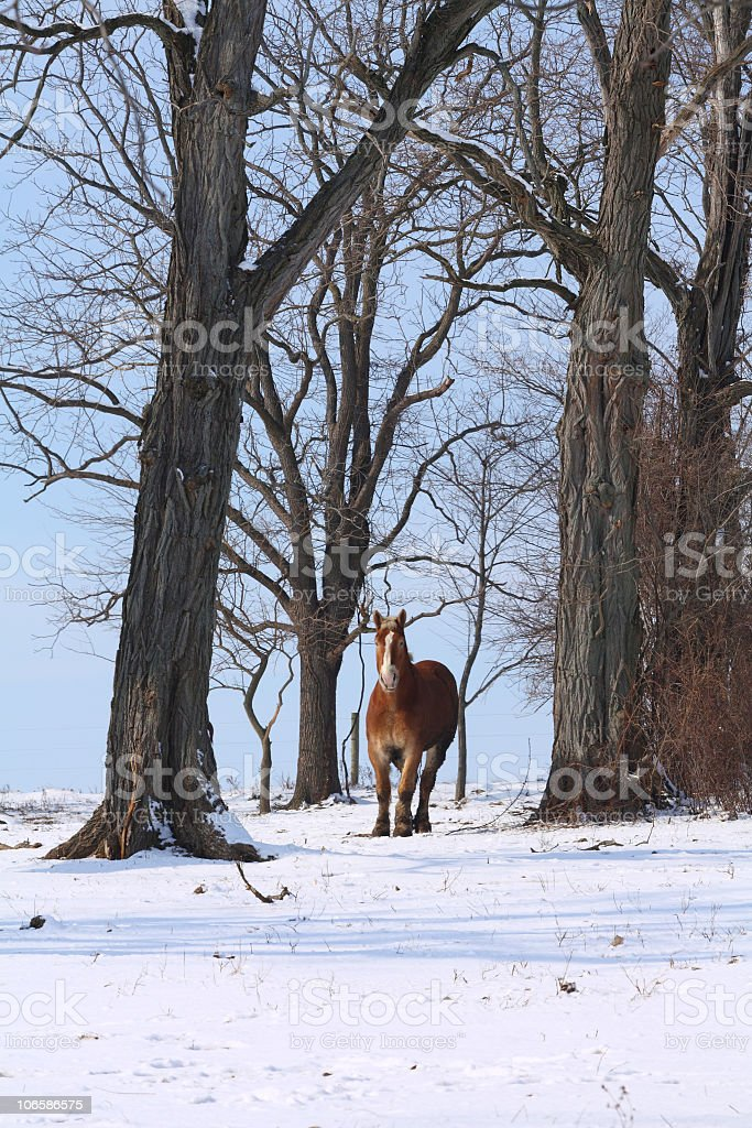 Amish Horse Among the Trees royalty-free stock photo