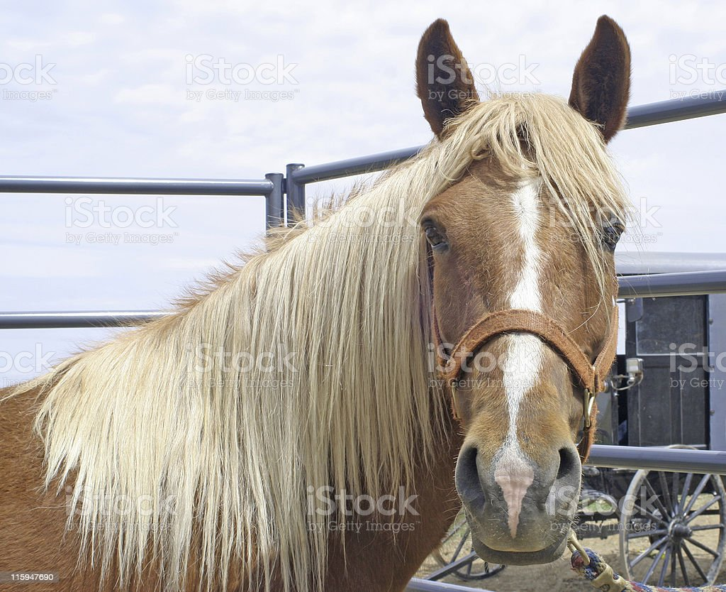 Amish Horse for Sale stock photo