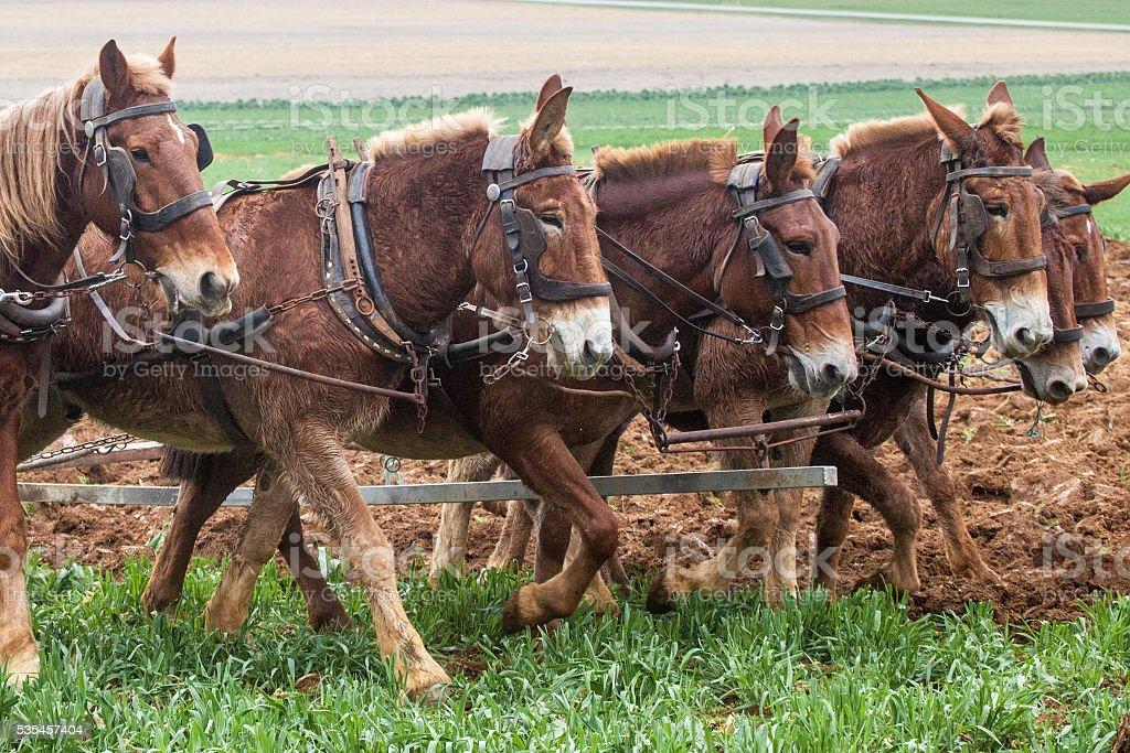 6 Amish Mules Plowing Field stock photo