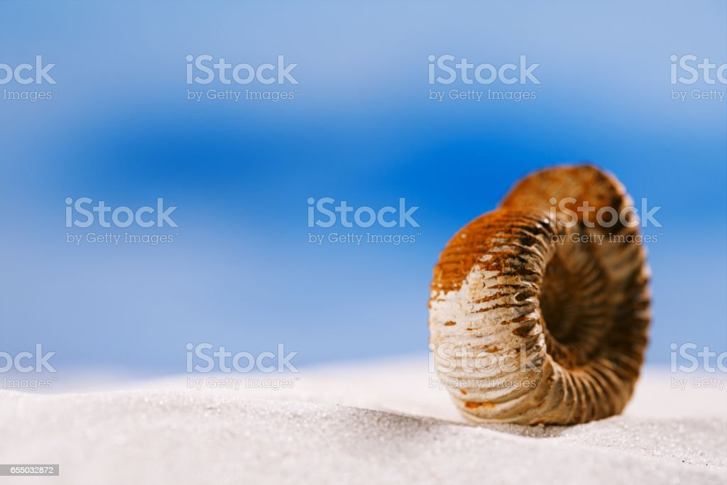 ammonite nautilus shell  on white beach  sand stock photo