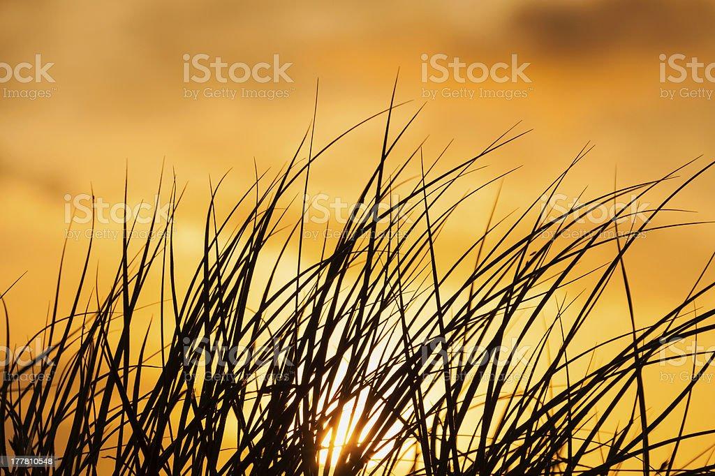 ammophila in golden light royalty-free stock photo
