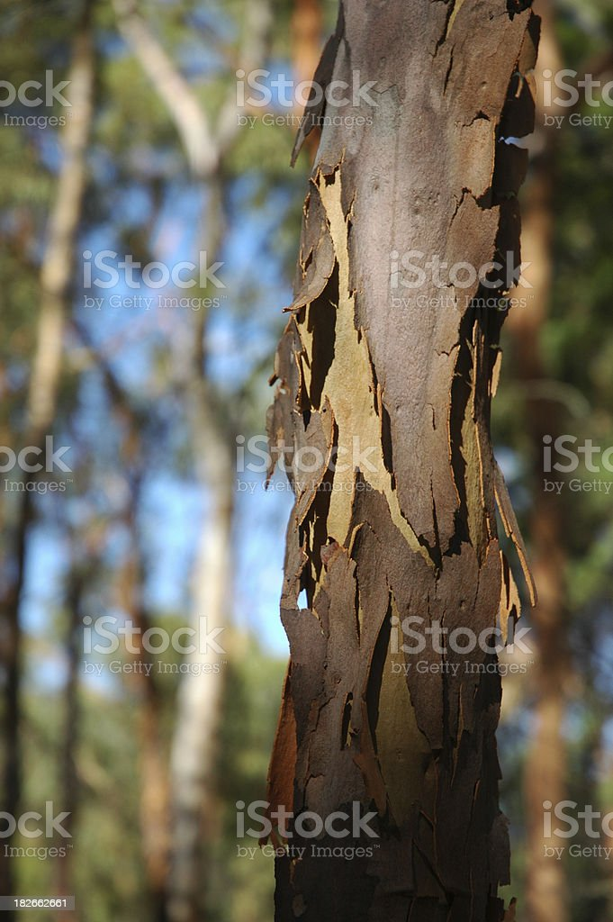 Among the gum trees royalty-free stock photo