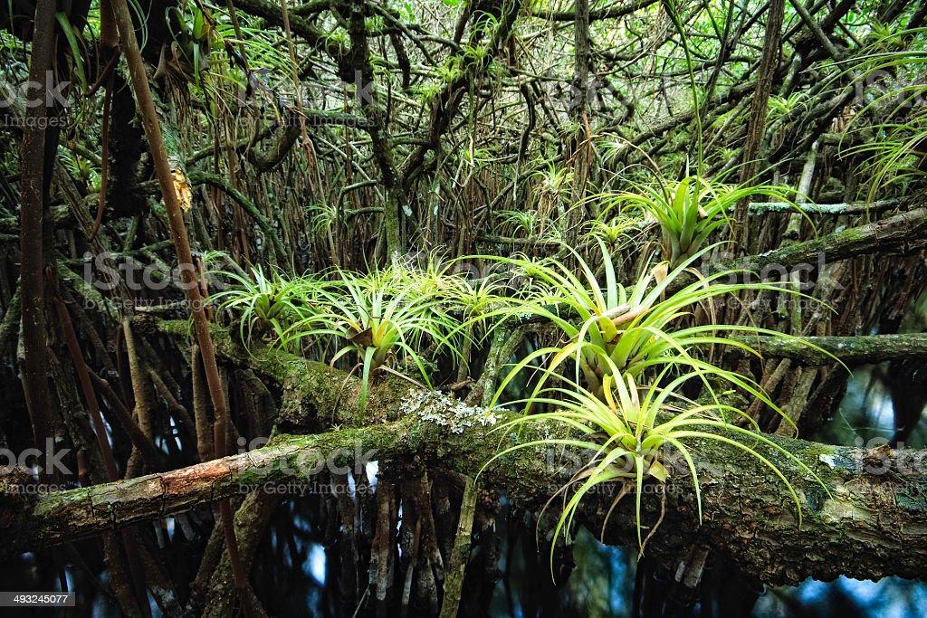 Among The Mangroves stock photo