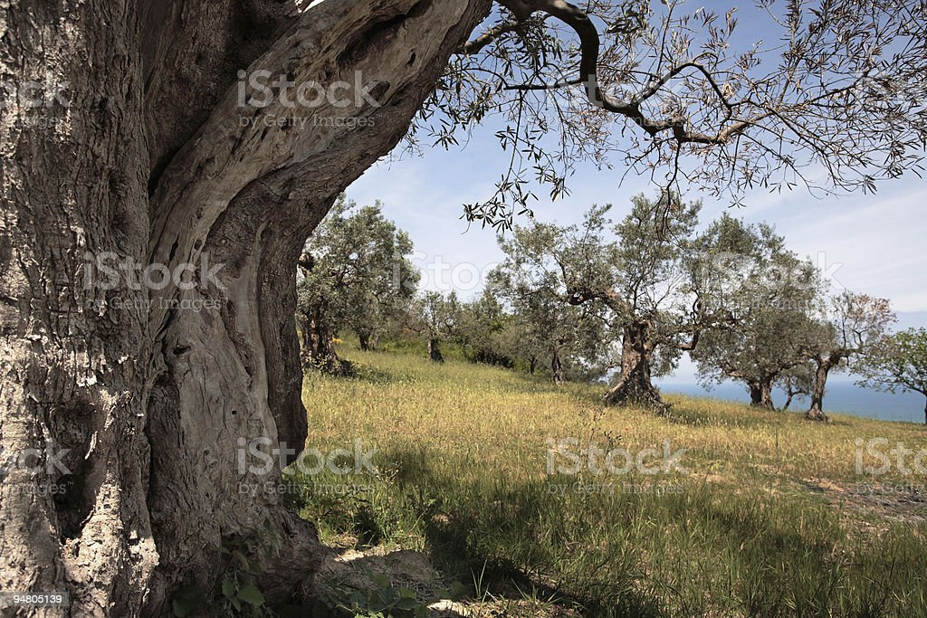 among the olive trees royalty-free stock photo