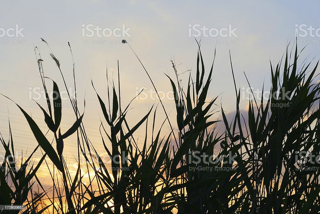 Among the reeds royalty-free stock photo