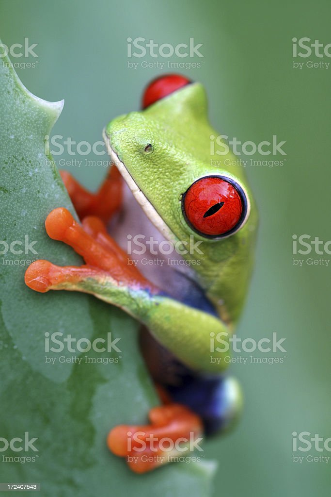 Among Thorns - Red-eyed Tree Frog royalty-free stock photo