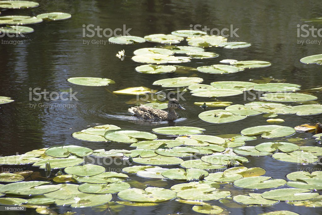 Among water plants the duck floats and looks for forage royalty-free stock photo