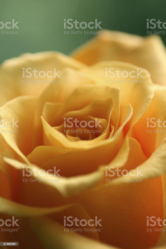 amorous rose stock photo