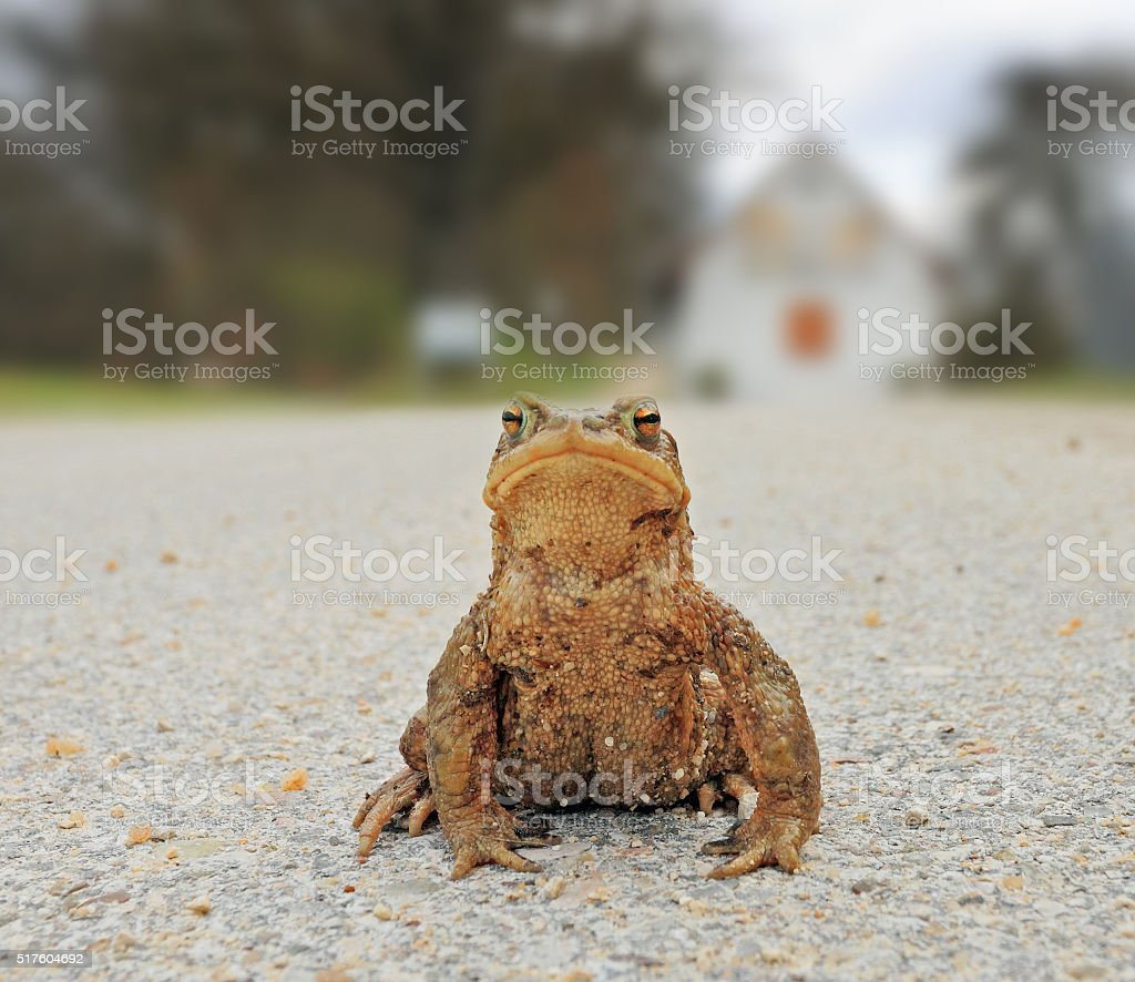 Amphibians in spring - common european toad sitting on street stock photo