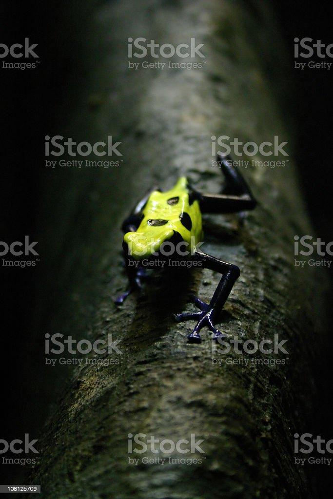 amphibians - poison dart frog royalty-free stock photo