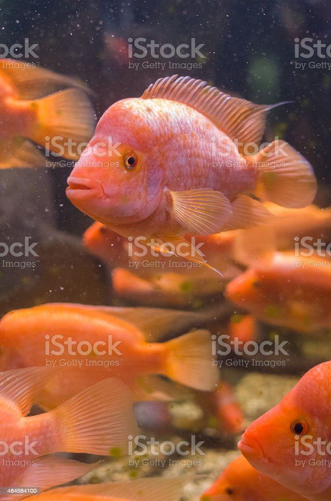 Amphilophus Citrinellus Fishes stock photo