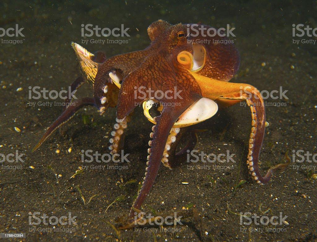 Amphioctopus marginatus royalty-free stock photo