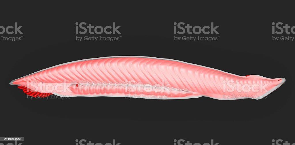 Amphioxus stock photo