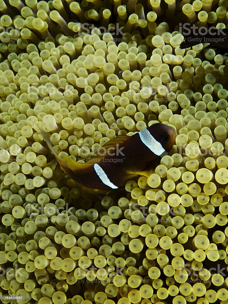 amphiprion bicinctus - Twoband Anemonefish stock photo