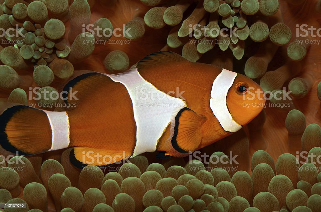 Amphiprion Ocellaris stock photo