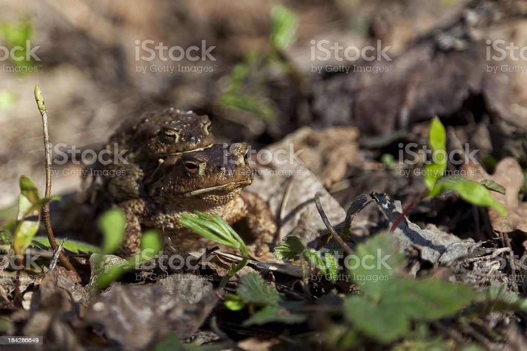 Amplexus of European Common Toad stock photo