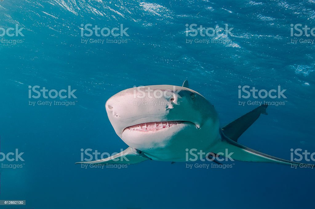 Ampullae of lorenzini, lemon shark stock photo