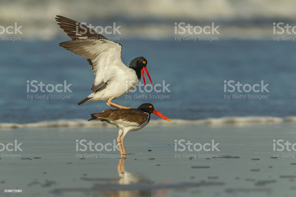 Amrican Oystercatcher mating stock photo