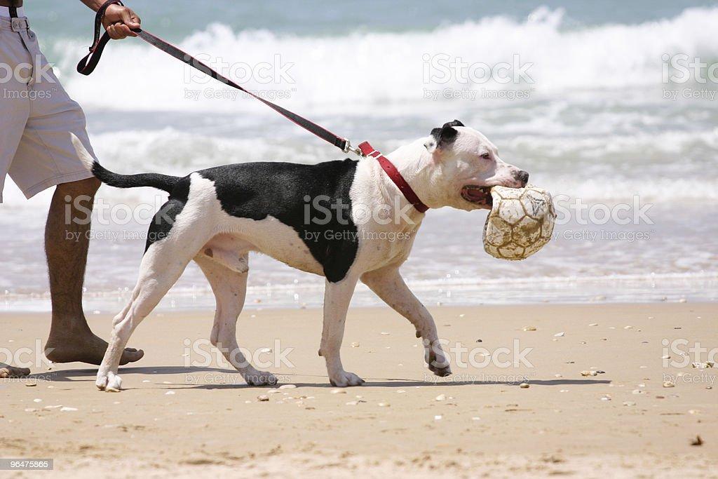 Amstaff on the beach stock photo