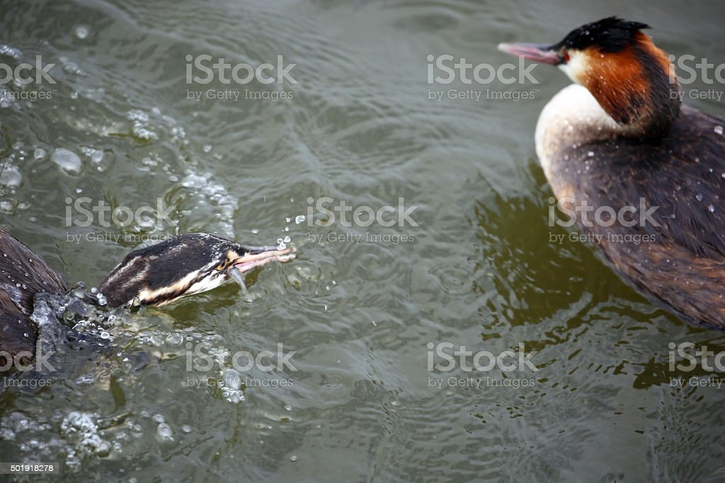 Amsterdam: Great Crested Grebe in Amsterdam harbour stock photo