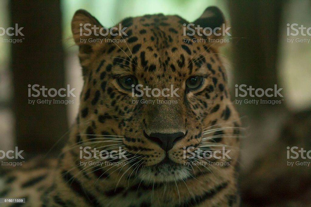 Leopardo dell'Amur stock photo