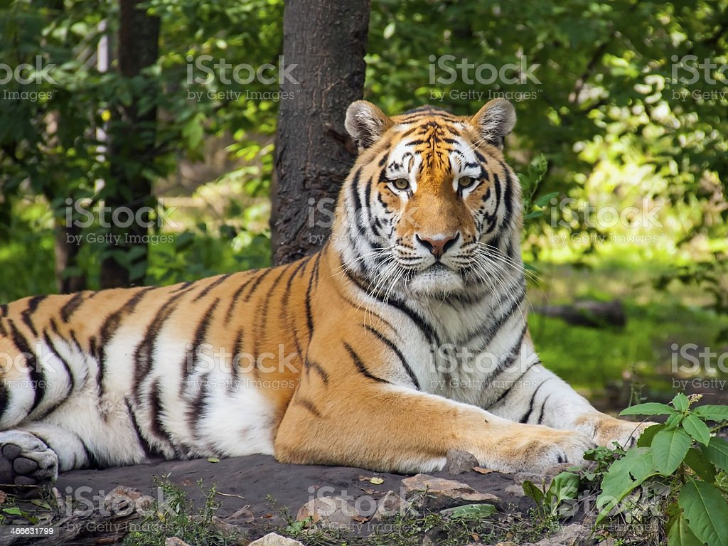 Amur tiger, also known as a Siberian tiger resting in woods stock photo