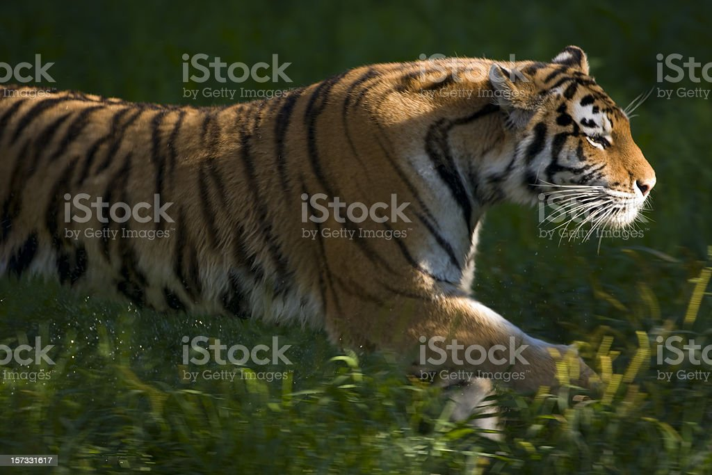 Amur (Siberian) tiger in motion. royalty-free stock photo