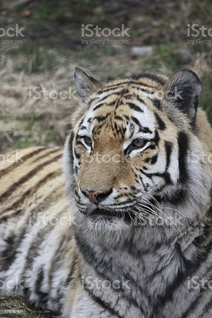 Del Amur Tiger foto de stock libre de derechos