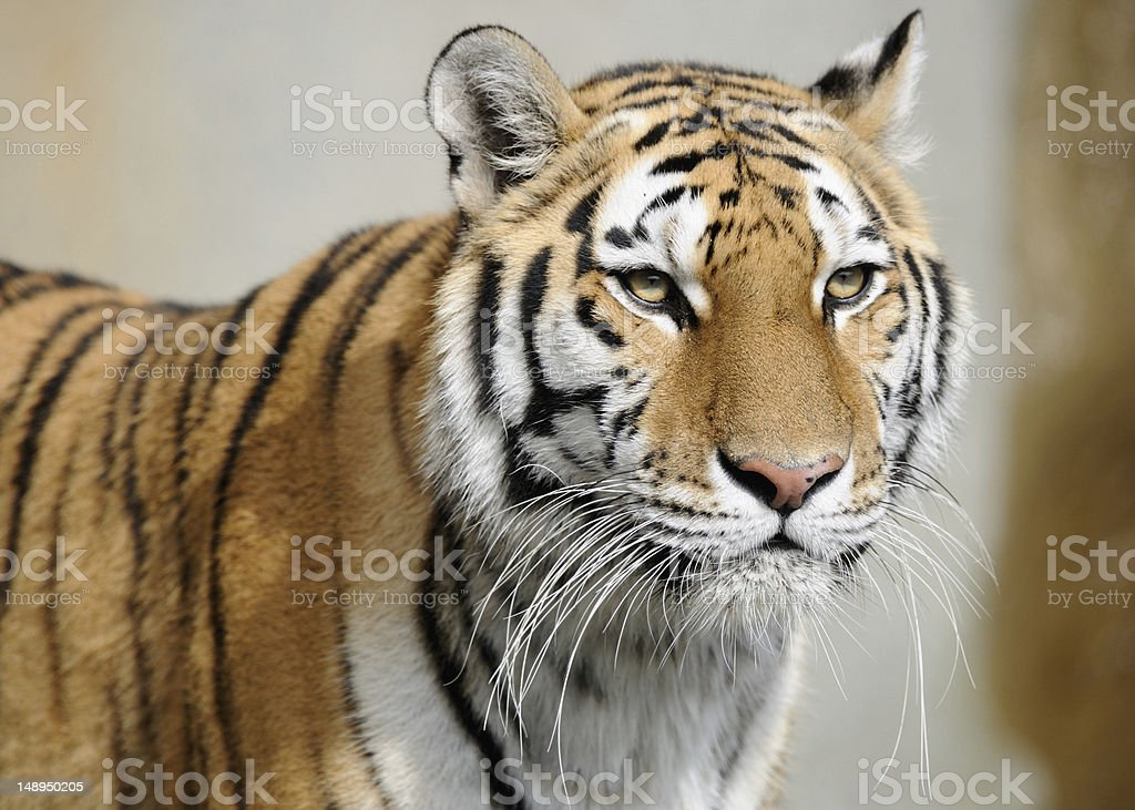 Amur tiger portrait royalty-free stock photo