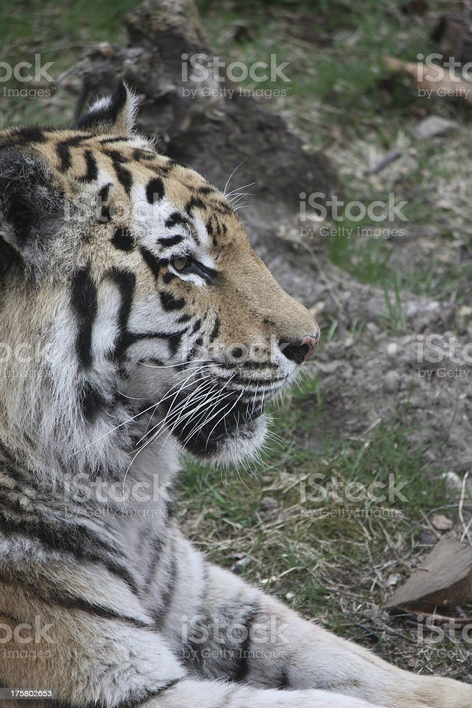 Perfil del Amur Tiger foto de stock libre de derechos