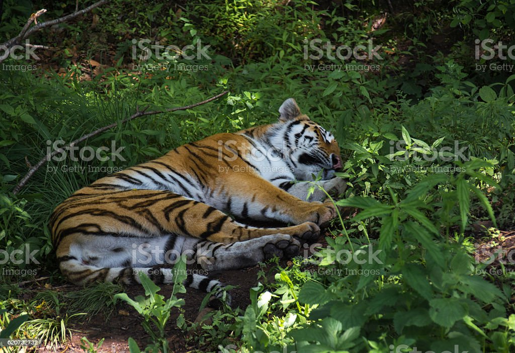 Amur tiger rest in the green overgrown. stock photo